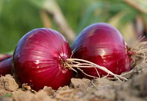 onion-1565604